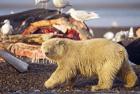 气候难民北极熊与人同居