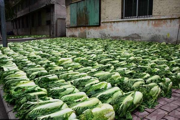 东北街头晾晒大白菜成街景