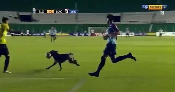 滑稽!玻利维亚警犬叼走足球大闹赛场引追逐