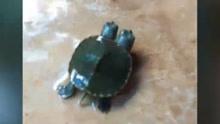 泰国惊现双头龟 跑得快如闪电