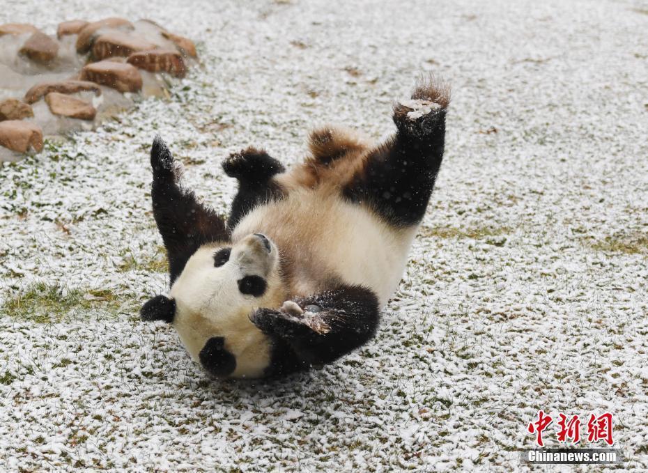 长春迎首场降雪 熊猫雪地撒欢