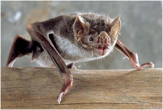 气候变暖使吸血蝙蝠重返美国 或会在动物中散播狂犬病