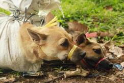 印尼狗狗被迫目睹同类被杀 场面残忍