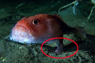 英电视节目拍到海中怪鱼 进化出脚能自如行走