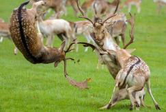 图片一周精选 英小鹿大打出手场面激烈