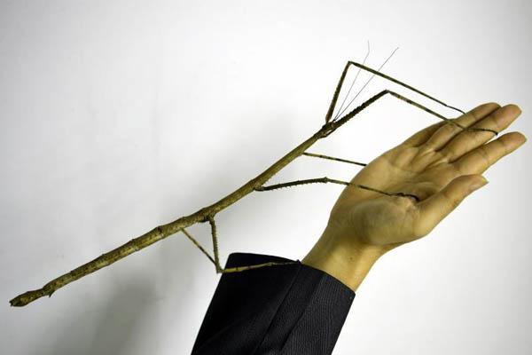 """""""世界最大昆虫""""中国巨型竹节虫首产卵成功孵化"""
