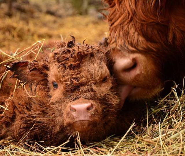 我是世界上最可爱的牛宝宝图片