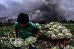 印尼锡纳朋火山爆发 山脚农民抢收蔬菜