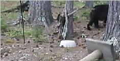 黑熊被喵星人吓得上爬树