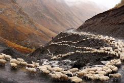 格鲁吉亚羊群翻山越岭迁徙 场面壮观