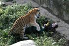 俄动物园老虎攻击饲养员