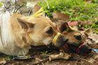 印尼狗狗被迫看同类被杀
