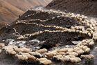 格鲁吉亚羊群翻山迁徙