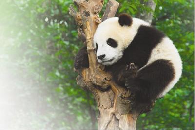 """媒体:世界那么大,""""最萌外交官""""大熊猫宝宝也去看看"""