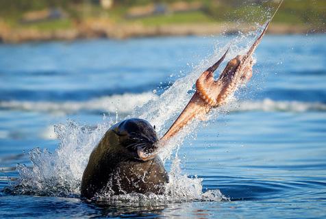 南非海狮捕食章鱼 尽显猎食者残忍本性