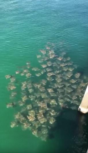 震惊!数百只饥饿黄貂鱼惊现美佛州码头觅食