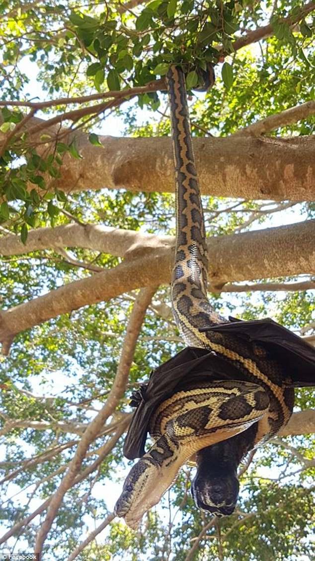 澳地毯蟒倒挂树枝捕获蝙蝠因无法下口放弃美餐