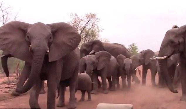 南非一大象冲向游览车企图威胁远离其幼崽