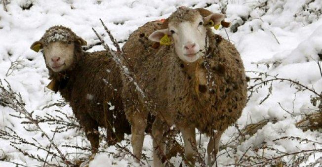 羊能认出奥巴马?研究称动物脸部识别能力超想象