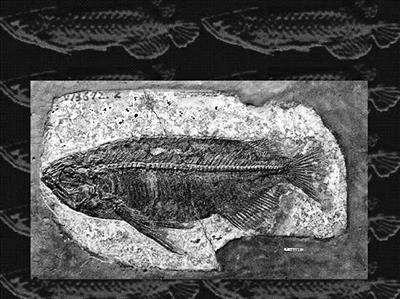 湖北发现最完整金龙鱼化石 网友调侃真有金龙鱼