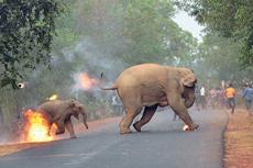 照片曝光印度村民向大象扔火球