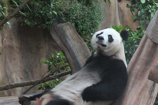 探访印尼熊猫馆 中国大熊猫开心萌萌哒