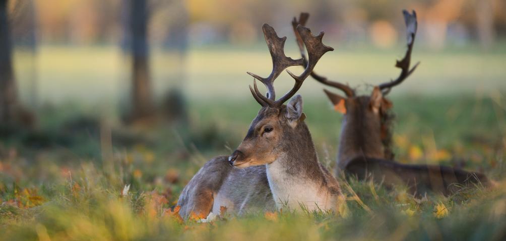生活不易!都柏林控制野生鹿群采取猎杀措施