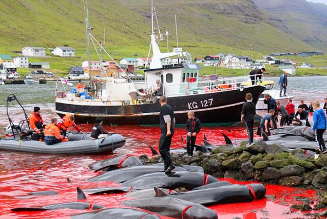 法罗群岛数百鲸鱼海豚被捕杀 血染海湾