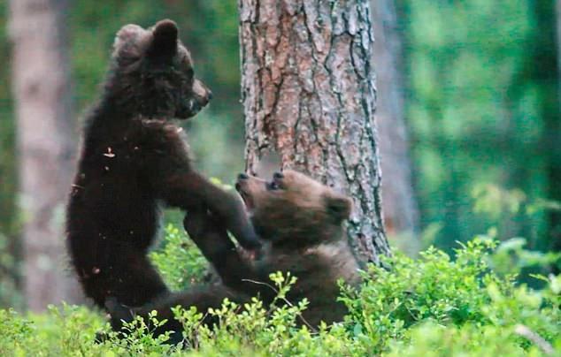 芬兰两只小熊林中摔跤玩闹萌趣可爱