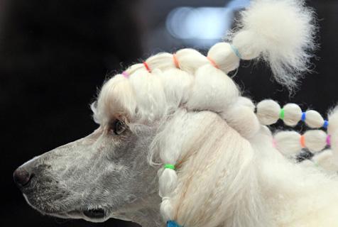 德国年度冠军狗展 汪星人扎灯笼辫比美