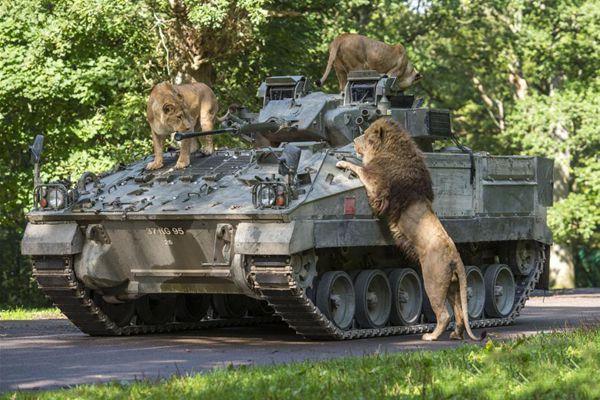 """""""狮子王""""的气魄!英国动物胆超大装甲车上开""""party"""""""