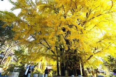 北京市属公园推荐十处银杏及彩叶观赏点