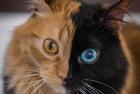 猫咪左右脸颜色完全不同