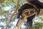 澳蟒蛇倒挂树枝捕获蝙蝠