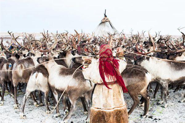 """""""冰上丝路""""沿线的驯鹿牧民"""