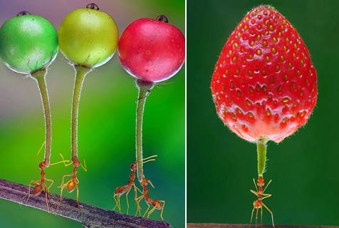 印尼摄影师拍蚂蚁轻松举水果惊人画面