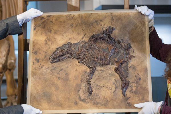 德国出土史前马罕见完整化石 距今4700万年