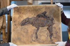 德国出土史前马完整化石 距今4700万年