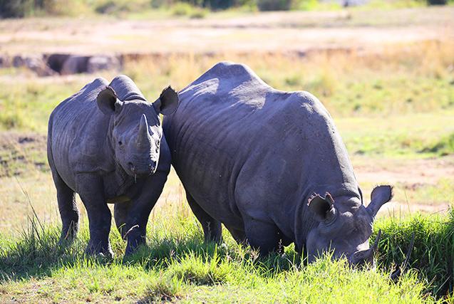 实拍非洲罕见黑犀牛 河边饮水画面温馨