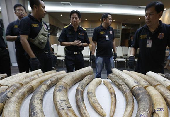 泰国海关截获116公斤象牙 价值约18万美元