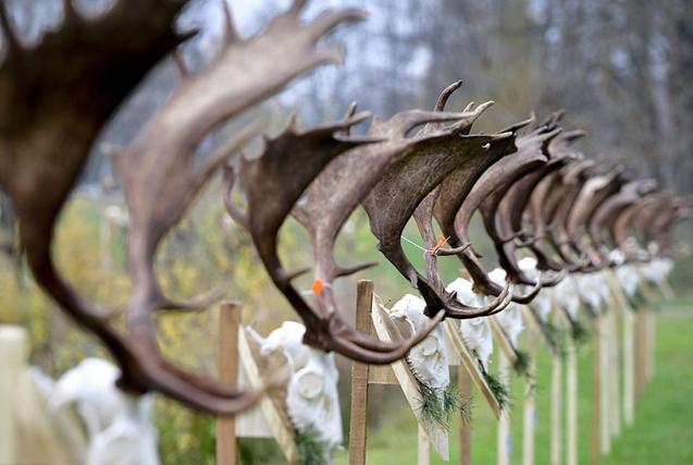 匈牙利猎人展出扁角鹿战利品 蔚为壮观