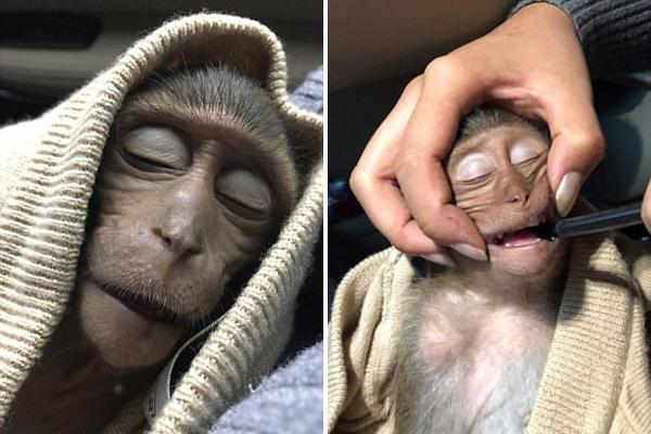 泰国一猴子喝过量咖啡中毒致昏迷10小时