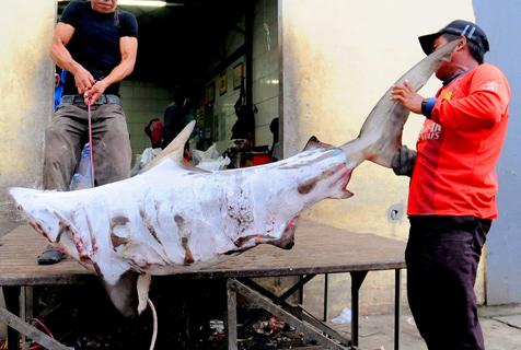血腥的鱼翅贸易:印尼渔民非法捕杀鲨鱼