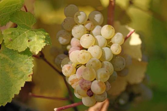 芳香型白葡萄品种盘点