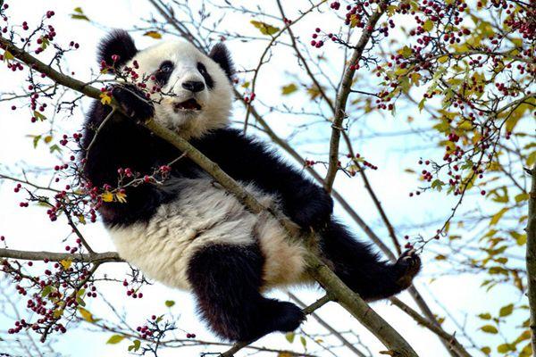 尴尬了!熊猫宝宝上树觅食被卡半空中