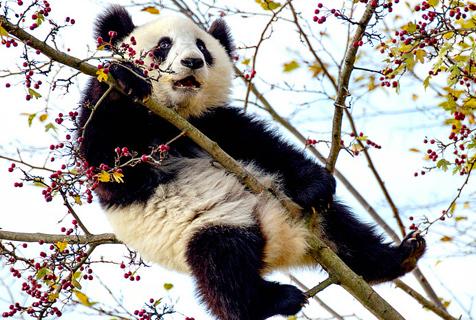 尴尬!奥地利熊猫宝宝上树觅食被卡半空