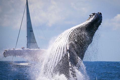 迁徙座头鲸海上翩翩起舞似做告别演出