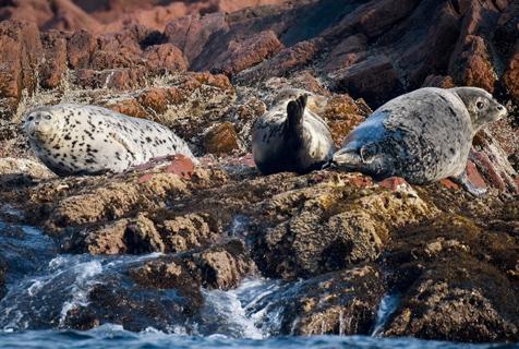 俄罗斯海豹海岸边休息模样懒洋洋