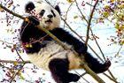 熊猫上树觅食被卡半空