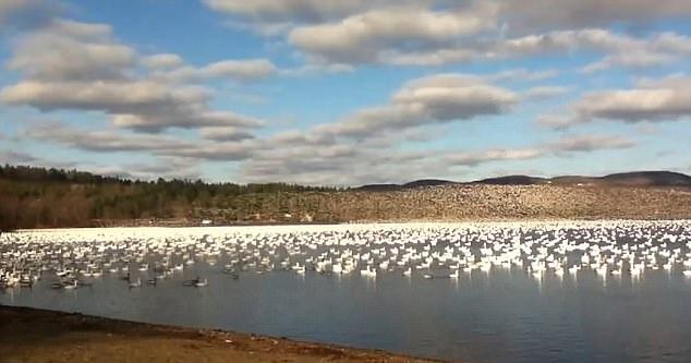 加拿大数万只雪雁齐飞 场面壮观震耳欲聋